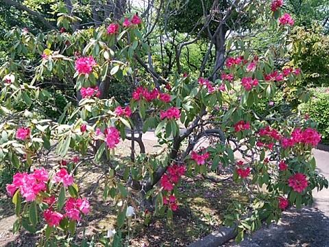 緑化センターの西洋石楠花
