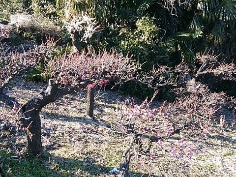 片倉3丁目の梅畑