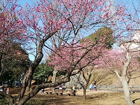 岸根公園梅