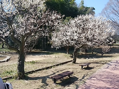 三ツ池公園梅