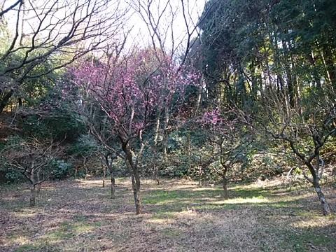 四季の森公園梅