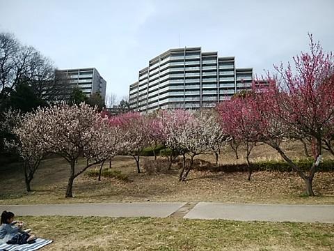 山田富士公園梅