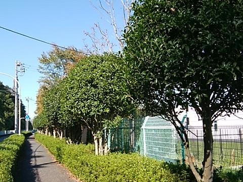 生田浄水場前キンモクセイ