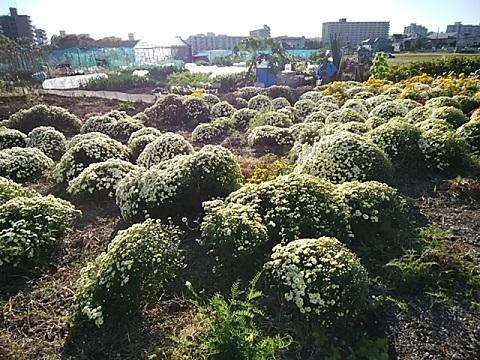 小山町の菊畑