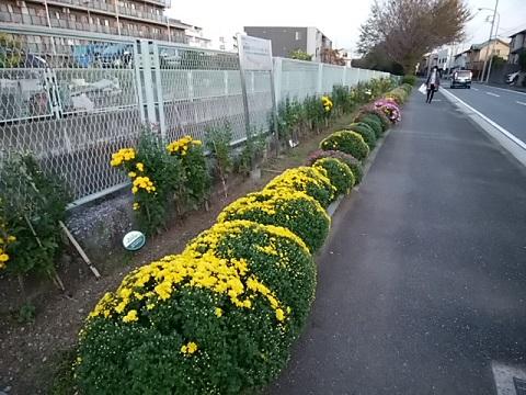 美里橋付近の花壇の菊
