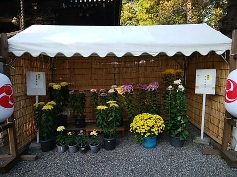 野川神明社菊展示