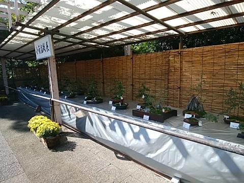 緑化センター小菊盆栽展