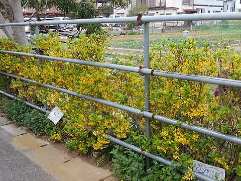 高津区千年の畑レンギョウ