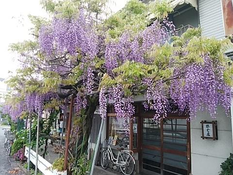富士通裏門付近の藤