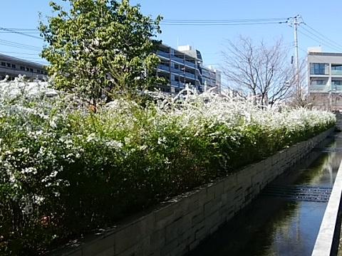 五ヶ村堀緑地雪柳
