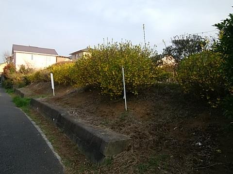東山田の畑のレンギョウ