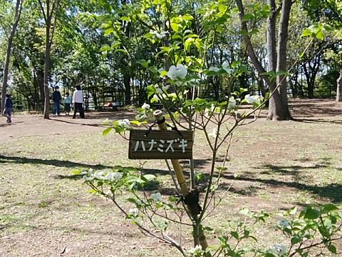 日吉の丘公園ワシントンハナミズキ