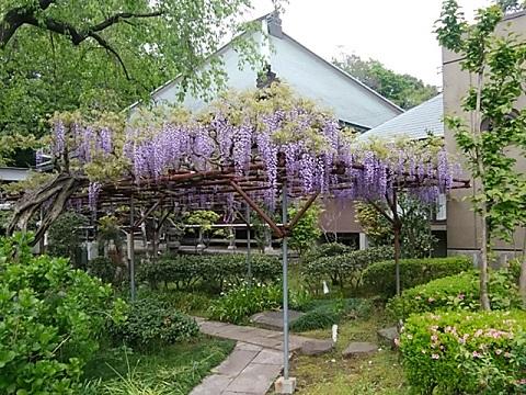 本法寺の藤