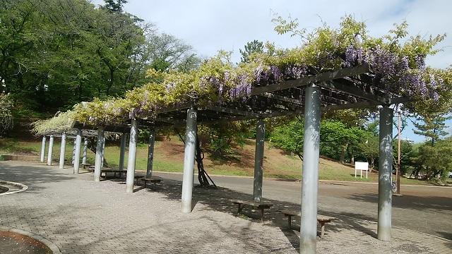 梶ヶ谷第一公園の藤