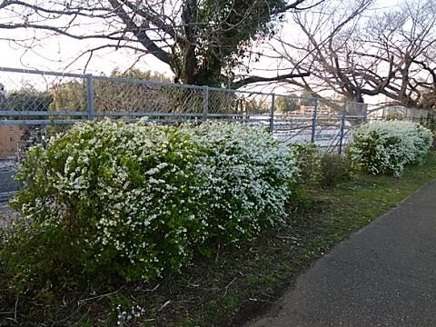 春日台公園雪柳
