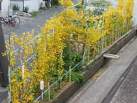 駒岡ガーデンレンギョウ