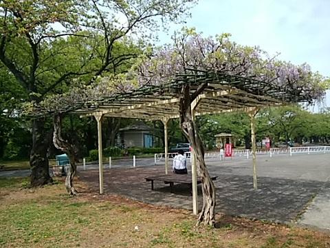 緑ヶ丘霊園の藤