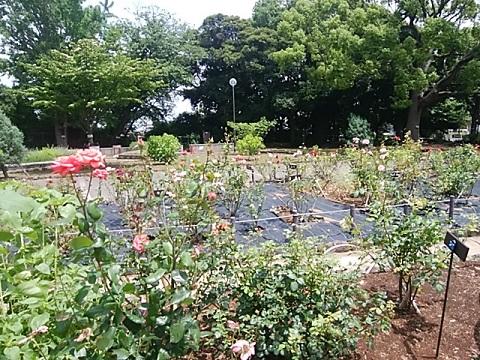 三ッ沢公園のバラ