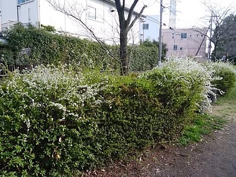 新田緑道雪柳