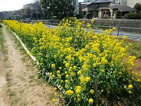 早淵川老馬谷戸ガーデン菜の花