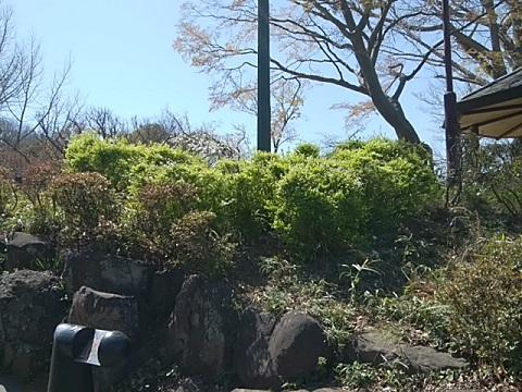 大倉山公園雪柳