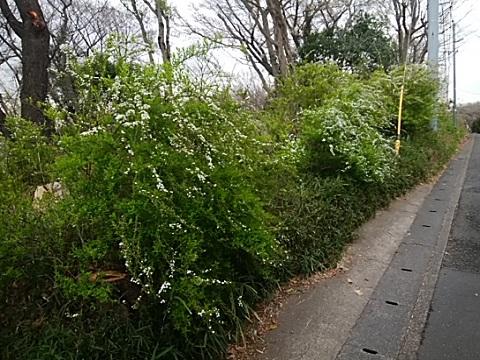 生田大谷第二公園雪柳