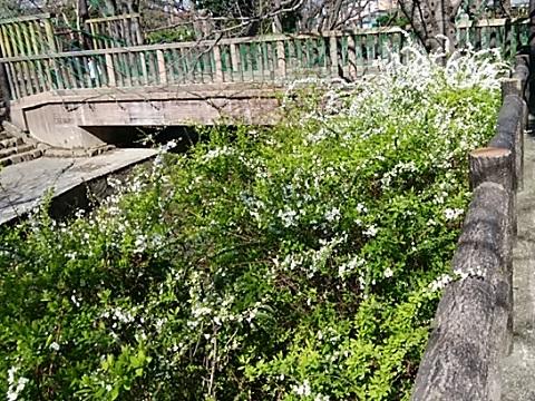 緑化センター雪柳