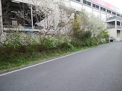 親水公園雪柳