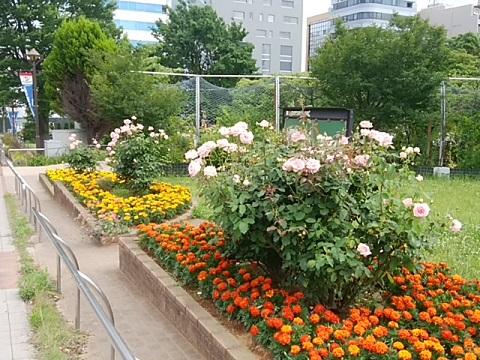 新横浜駅前公園バラ