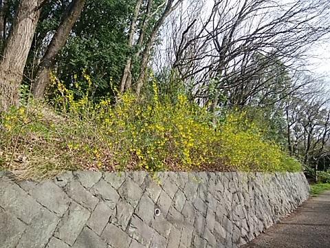 山崎公園のレンギョウ
