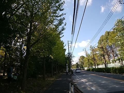 梶ヶ谷のイチョウ並木