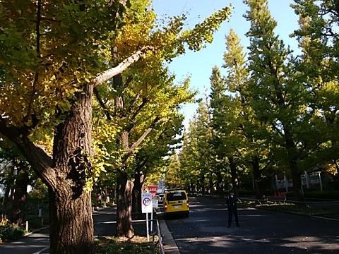 慶応大学日吉公園イチョウ