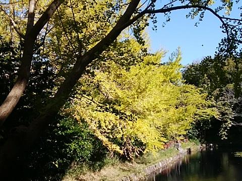 三ツ池公園イチョウ