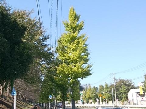 尻手黒川道路イチョウ並木