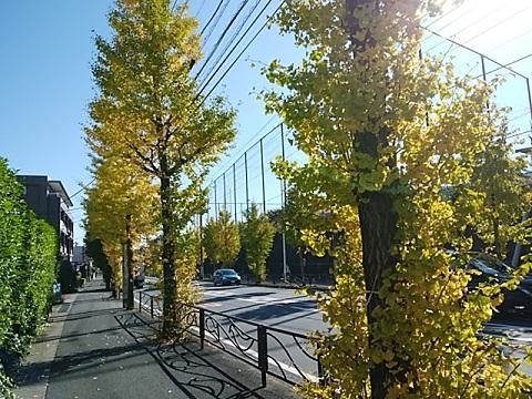 鷺沼から土橋のイチョウ並木