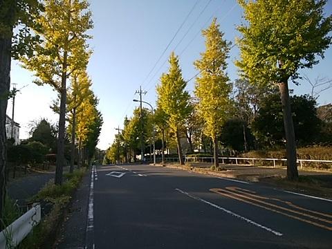 竹山団地のイチョウ並木