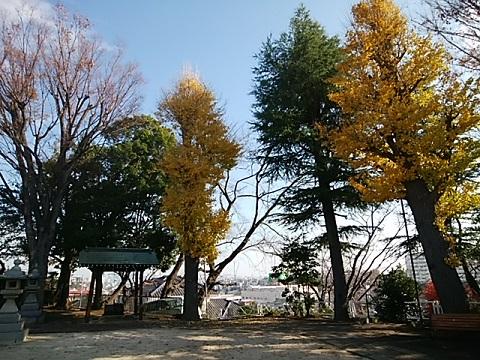 熊野神社イチョウ
