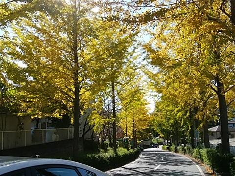 元石川高校から横浜総合病院のイチョウ並木