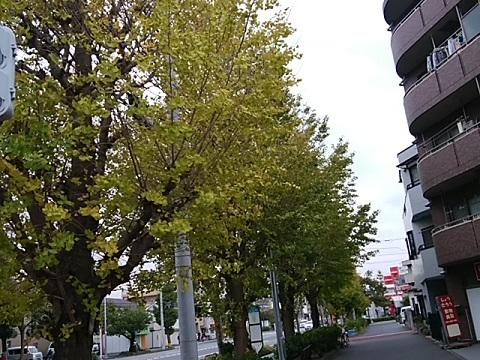 追分から小田栄町のイチョウ並木