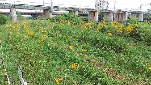 鶴見川綱島西ノカンゾウ