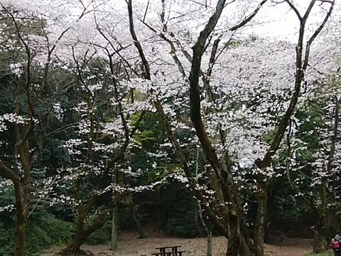 豊顕寺市民の森染井吉野