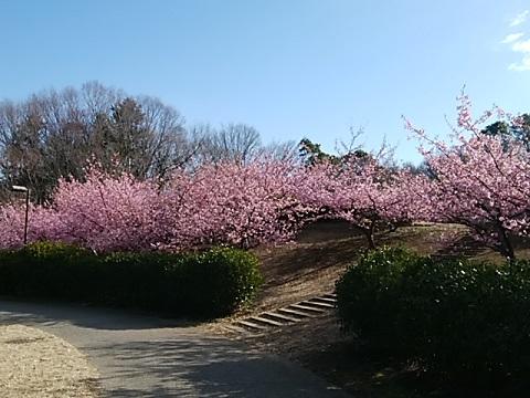 茅ヶ崎公園河津桜