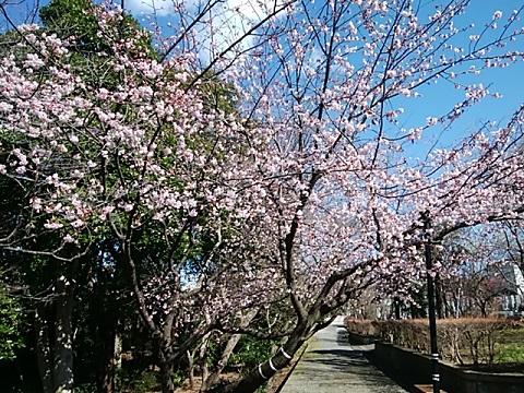 長善寺大寒桜