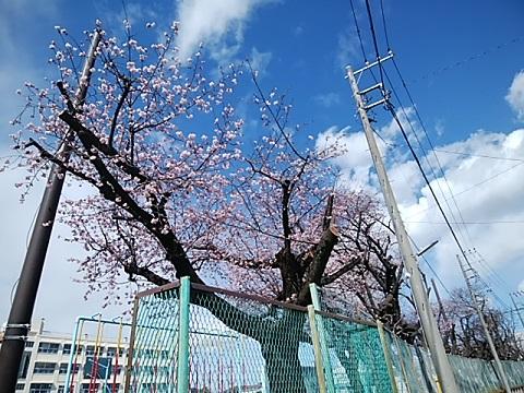 荏田小学校大寒桜