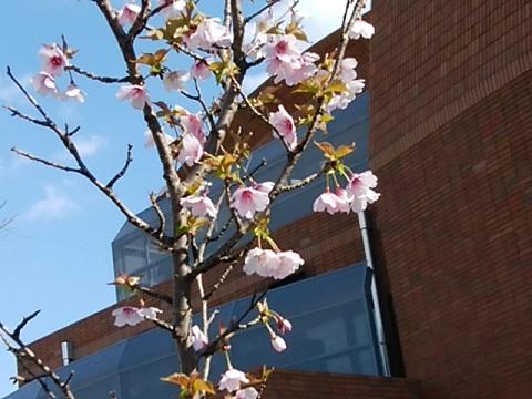 フタマエ桜