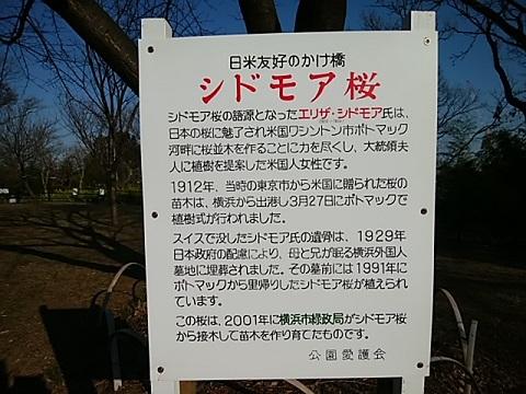 日吉の丘公園のシドモア桜