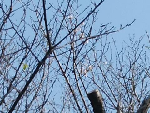 生田緑地狂い咲桜