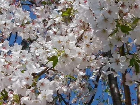 神山しだれ桜