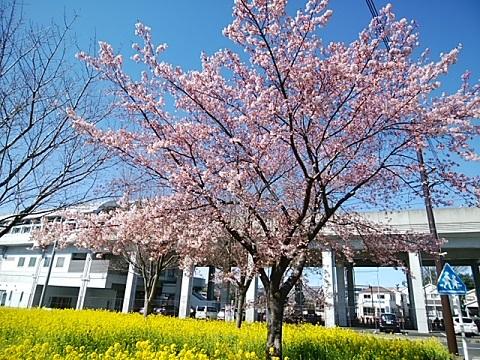 熱海大漁桜2020