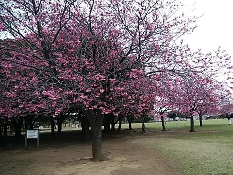 岸根公園横浜緋桜